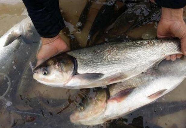 """过年买鱼要当心!""""柴油鱼""""出现市场,千万留意这种味道"""