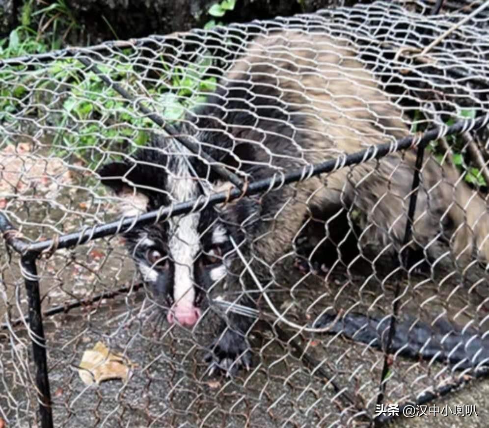 果子狸不请自来,汉中石门水电站雨中救助国家二级保护动物