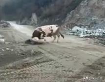 汉中老农,意外被自家牛撞死!